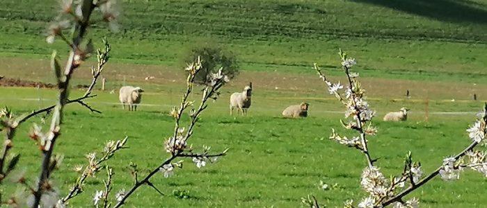 Schafe in der Natur auf einer Wiese im Erholungsgebiet Niederehe in der Eifel